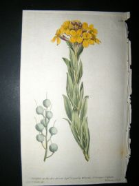 Curtis 1790 Hand Col Botanical Print. Bladder-Podded Alyssum 130
